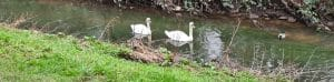 Swans on the River Leen